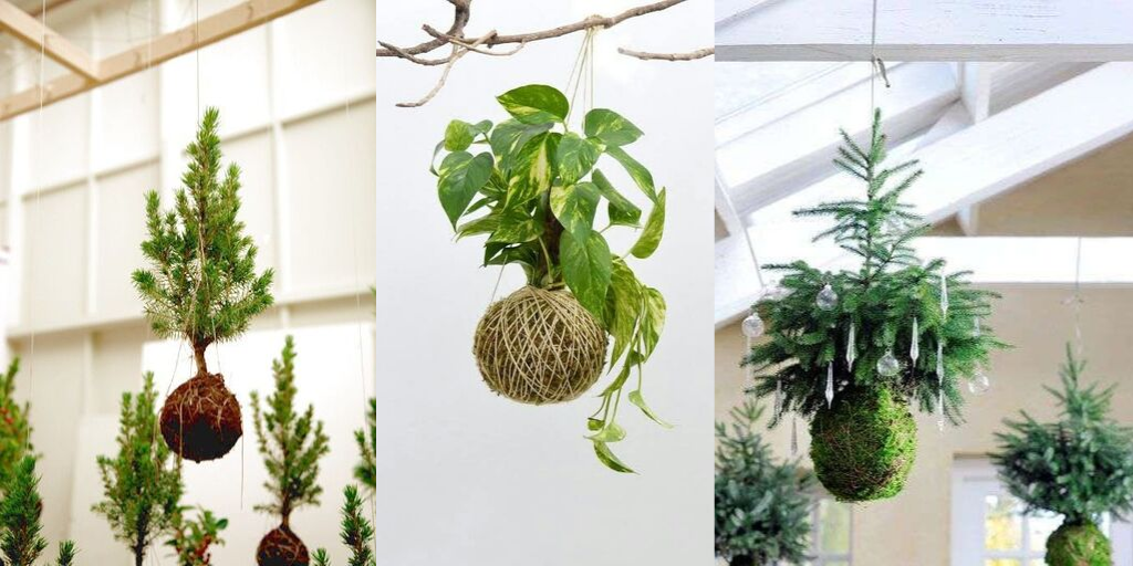 roślina wisząca na sznurku kula